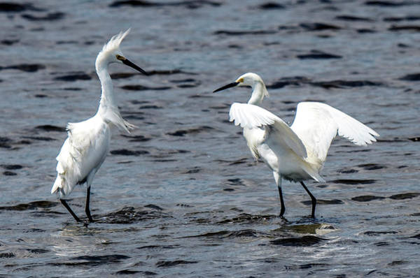 Photograph - Pair Of Snowy Egrets by William Bitman