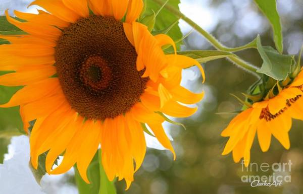 Photograph - Pair Of Sunflowers by Jean Clarke