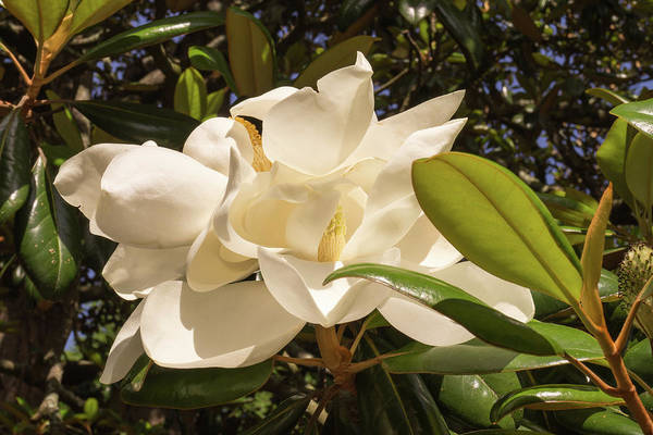Photograph - Pair Of Sunlit Magnolia Flowers by MM Anderson