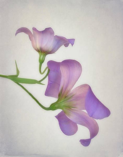 Wall Art - Photograph - Pair Of Texas Bluebell Wildflowers by David and Carol Kelly