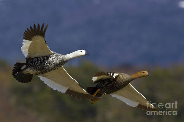 Southern Uplands Wall Art - Photograph - Pair Of Upland Geese by Jean-Louis Klein & Marie-Luce Hubert