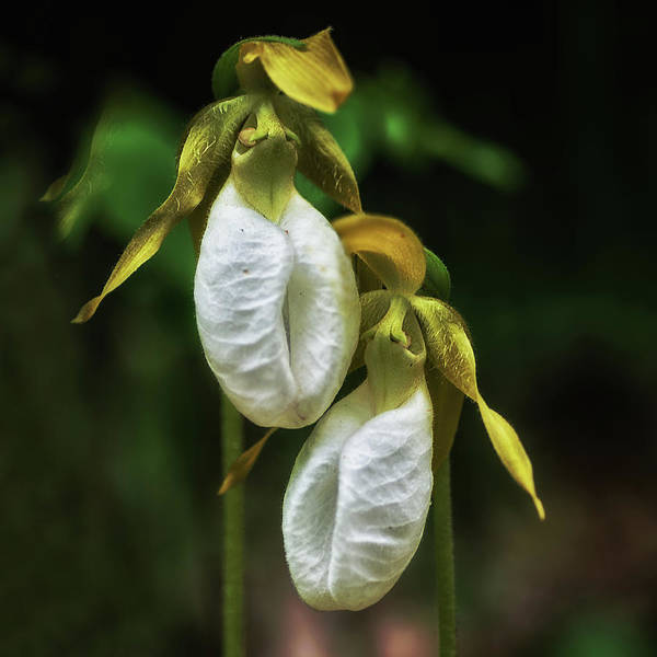 Wall Art - Photograph - Pair Of White Ladyslippers by Susan Capuano