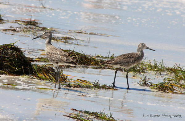 Photograph - Pair Of Willets by Barbara Bowen