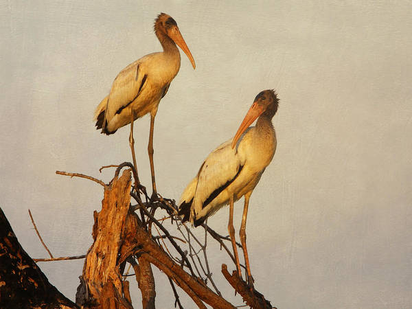 Photograph - Pair Of Wood Storks by Charles McKelroy