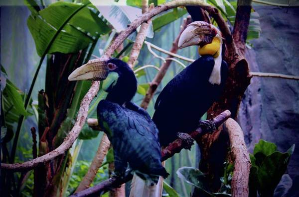 Photograph - Pair Of Wreathed Hornbills by Cynthia Guinn