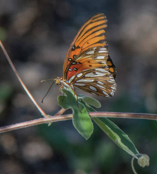 Photograph - Gulf Fritillary Butterfly 4409-082517-2cr by Tam Ryan