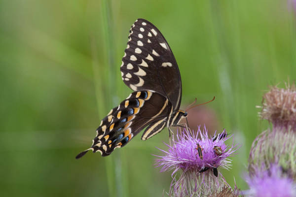 Photograph - Palamedes Swallowtail And Friends by Paul Rebmann