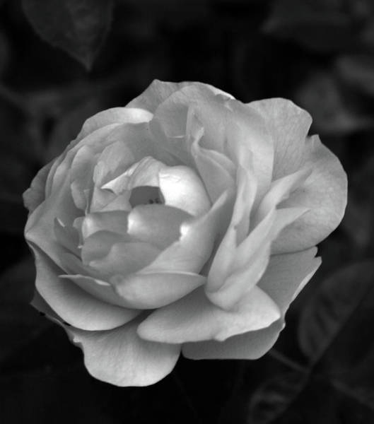 Photograph - Pale Cabbage Rose Bw 0374 H_4bw by Steven Ward