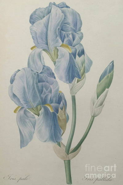 Wall Art - Painting - Pale Iris by Pierre Joseph Redoute