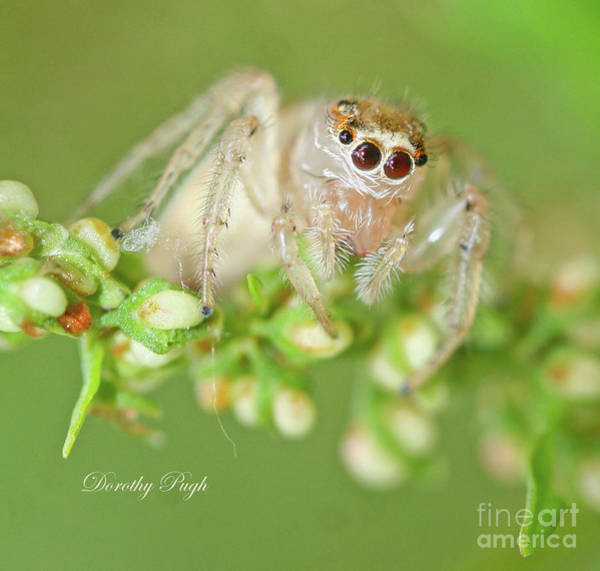 Photograph - Pale Jumping Spider  by Dorothy Pugh