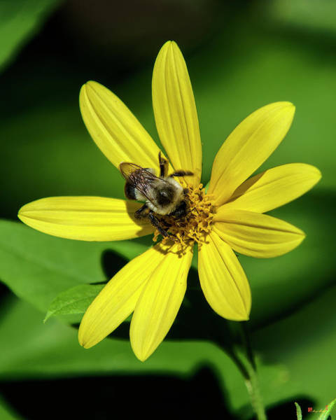 Photograph - Pale-leaved Sunflower With Bumble Bee Dff0060 by Gerry Gantt