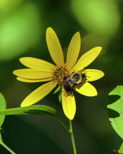 Photograph - Pale-leaved Sunflower With Bumble Bee Dff0061 by Gerry Gantt