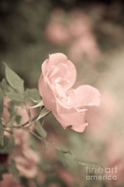 Photograph - Pale Pink Roses by Julia Rigler