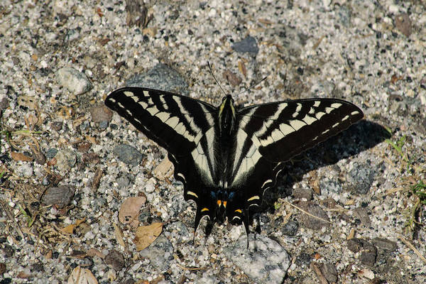 Photograph - Pale Swallowtail Butterfly by Frank Wilson