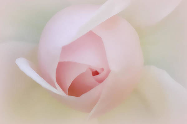 Photograph - Palest Of Pink by Patricia Montgomery