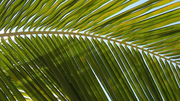 Belize Digital Art - Palm Branch Original by Geoff Strehlow