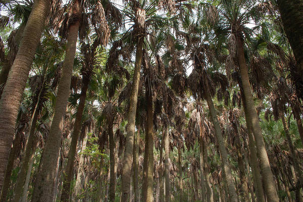 Photograph - Palm Cathedral by Paul Rebmann