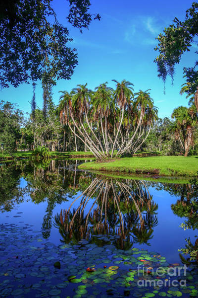 Photograph - Palm Cluster Reflection by Tom Claud