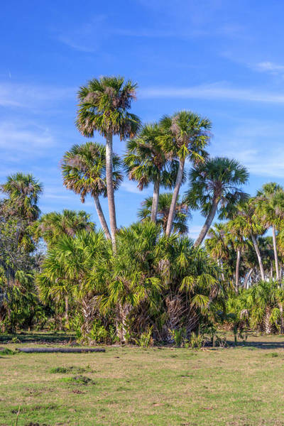 Florida Flora Photograph - Palm Cluster  by W Chris Fooshee