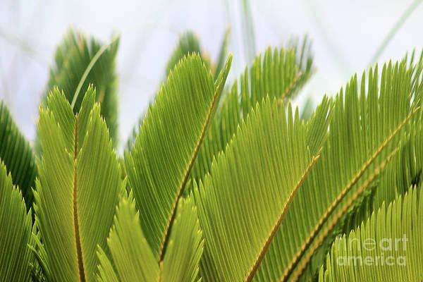 Photograph - Palm Fronds #1 2016 by Karen Adams