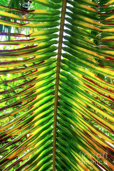 Photograph - Palm Fronds At Isla Zapatillas Panama by John Rizzuto