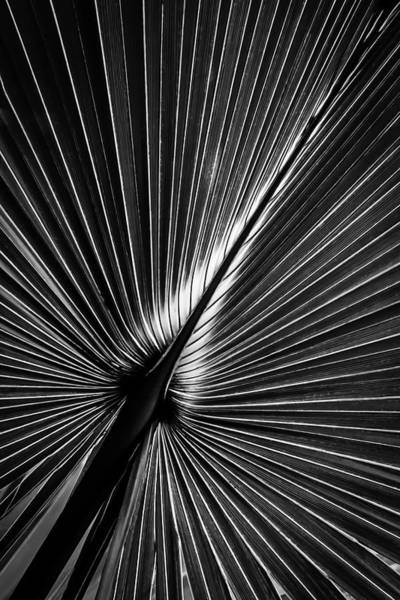 Photograph - Palm In Monochrome by Robert Mitchell