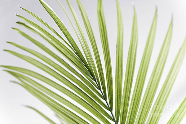 Wall Art - Photograph - Palm Leaf by Elena Elisseeva