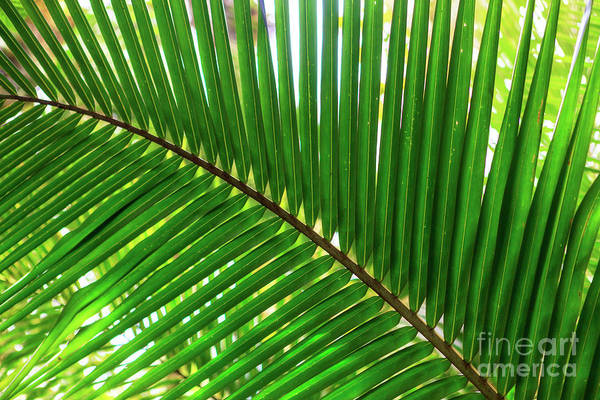 Photograph - Palm Leaves At Isla Zapatillas Panama by John Rizzuto