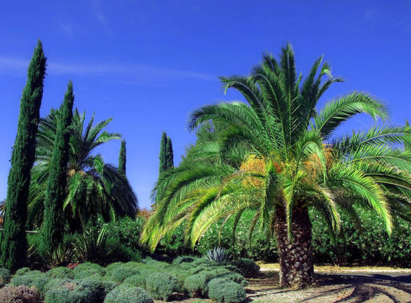 Photograph - Palm Tree With Cypress And Rosemary by Mary Capriole