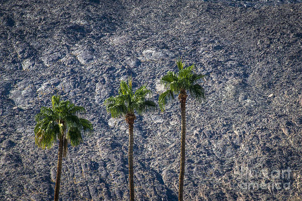 Aerial Tramway Wall Art - Photograph - Palm Trees by Art K