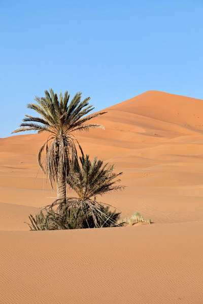 Photograph - Palm Trees In Desert by Aivar Mikko