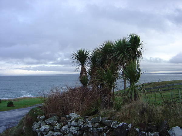 Photograph - Palm Trees In Ireland by John Moyer