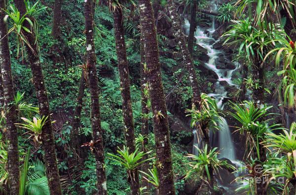 Photograph - Palm Trunks And Waterfall El Yunque by Thomas R Fletcher