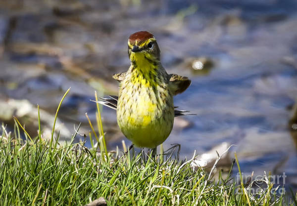 Photograph - Palm Warbler After A Quick Bath by Ricky L Jones