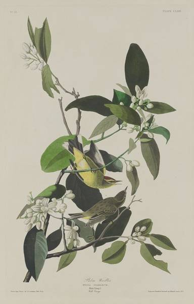 Palm Trees Drawing - Palm Warbler by Dreyer Wildlife Print Collections