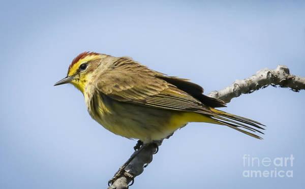 Photograph - Palm Warbler  by Ricky L Jones