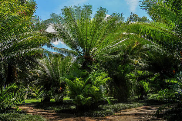 Photograph - Palms Trees In Brazil by Alexandre Rotenberg