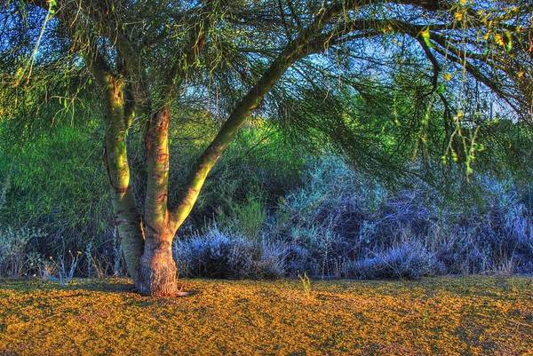 Photograph - $50 - 8x12 Canvas -  Palo Verde Tree by Tam Ryan