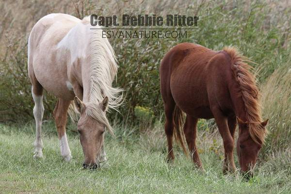 Photograph - Palomino Chestnut 0313 by Captain Debbie Ritter