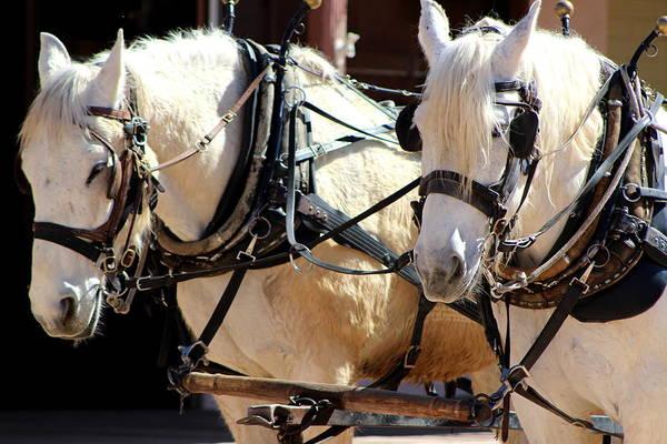 Photograph - Palomino Horses by Colleen Cornelius
