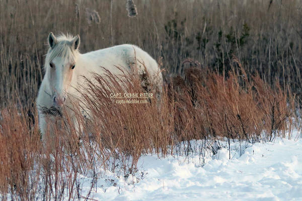 Photograph - Palomino Snow 5155 by Captain Debbie Ritter