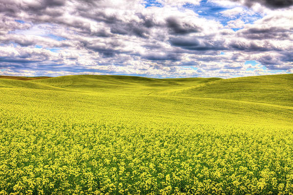 Photograph - Palouse Hills Canola by David Patterson