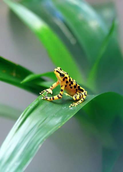 Nfs Photograph - Panamanian Golden Frog by Daniel Caracappa