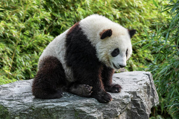 Photograph - Panda Bear Cub by Arterra Picture Library