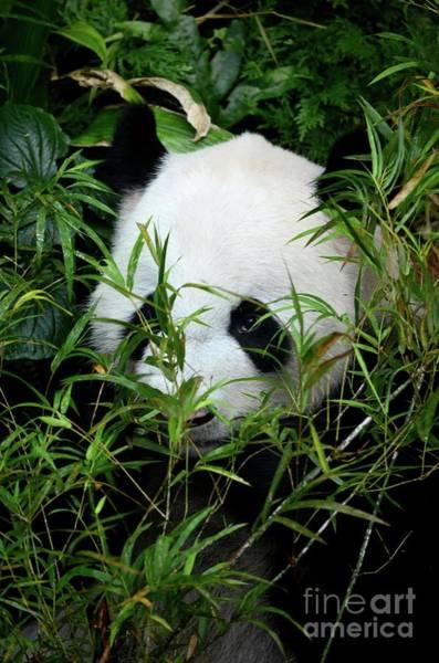 Photograph - Panda Bear Lies Among Foliage Eating Bamboo Shoots by Imran Ahmed