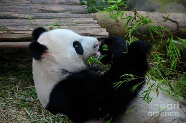 Photograph - Panda Bear Lies On Back And Eats Green Bamboo Shoot Plants by Imran Ahmed