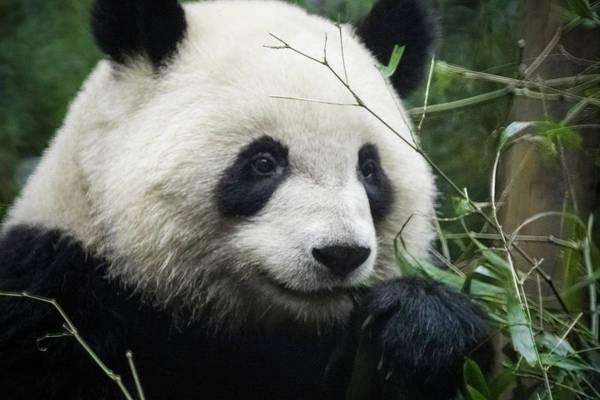 Photograph - Panda Eating Bamboo by William Dickman