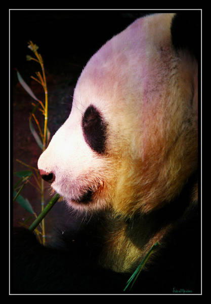 Photograph - Panda Profile by Ericamaxine Price
