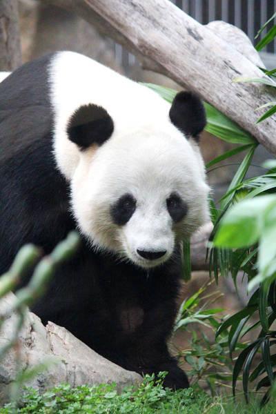 Hongkong Photograph - Panda by Yekaterina Grigoryeva
