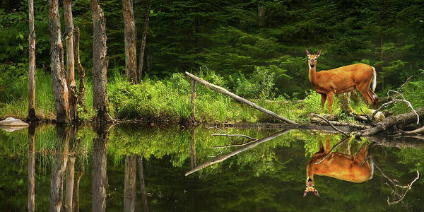 Photograph - Panorama Of A Deer At The Edge Of A Vermont Pond by Randall Nyhof